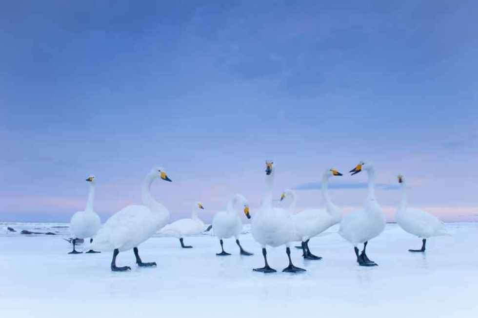 2nd Prize Nature Stories fot. Stefano Unterthiner, Italy, for National Geographic magazine Whooper Swans at dawn, Hokkaido, Japan, January