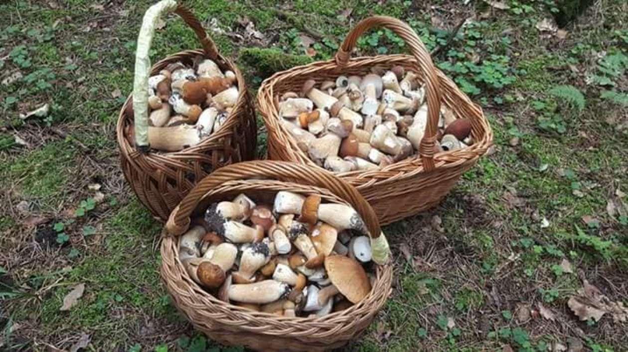 galeria grzyby w lasach woj lubelskiego zdjęcia